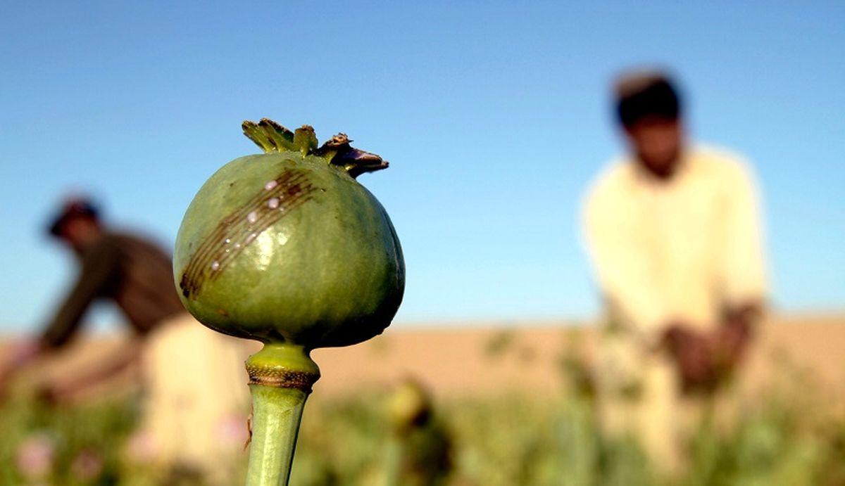 تریاک به کمک طالبان می آید